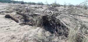 ۱۰۰ اصله درخت جنگلی در ریگان شبانه قطع شد
