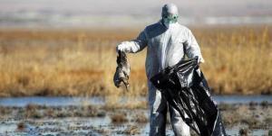 افزایش موارد ابتلای انسانی به آنفلوآنزای پرندگان/ خطر تغییر سریع سویهها