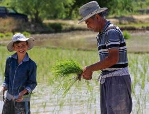 کاهش رنج تولید برنج در گیلان