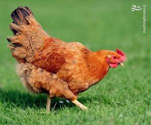 ناک اوت کردن کلاغ توسط مرغ!