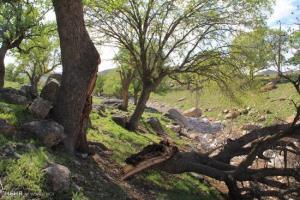 قاچاقچیان درختان بلوط شمال غرب فارس را به یغما میبرند