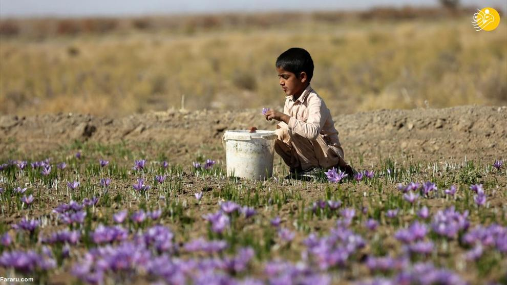 عکس/ کاهش برداشت زعفران در تربت حیدریه