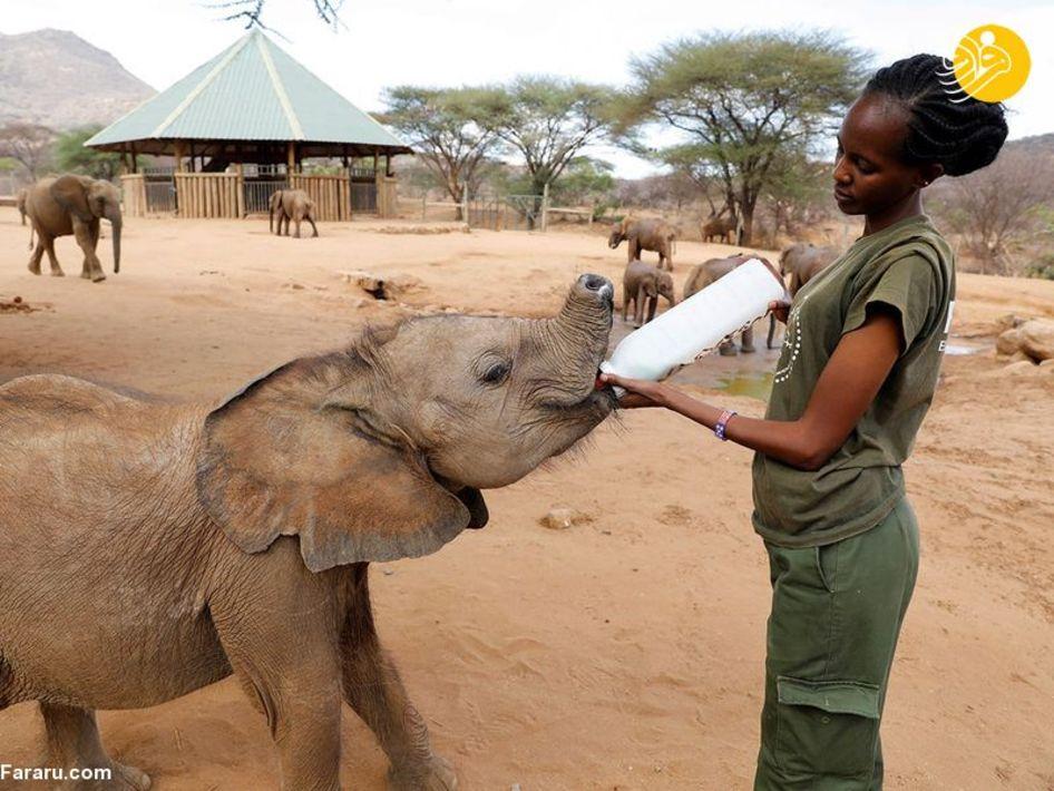 نجات بچه فیلهای یتیم رها شده در کنیا