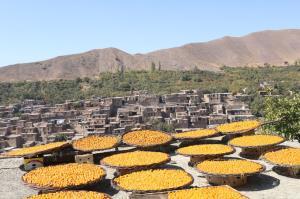 باغداران پایتخت آلوی ایران، صاحب شرکت تعاونی میشوند