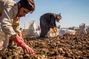 برداشت سیبزمینی از دشتهای کردستان