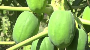 کشت میوه گرمسیری پاپایا در استان ایلام