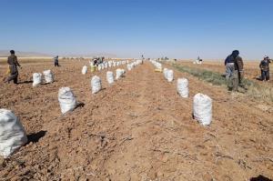 ۱۴۰ هزار تُن سیب زمینی در مزارع دهگلان برداشت شد