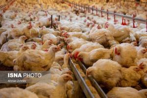 هجوم مسافران از دلایل سیاه شدن بازار گوشت سفید گیلان