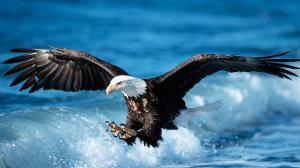 سنگینی شکار، عقاب را به شنا وادار کرد