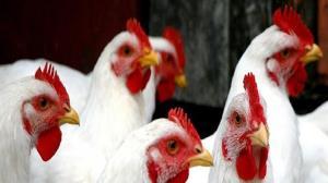 توقیف کامیون مرغ زنده قاچاق در تفت