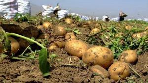 برداشت بیش از ۱۵ هزار تن سیبزمینی از مزارع استان قزوین