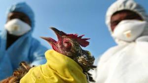 آخرین خبرها از آنفلوآنزای فوق حاد پرندگان در گلستان