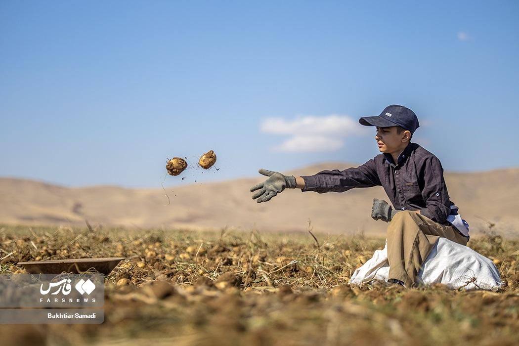 عکس/ برداشت سیب زمینی از دشت های کردستان